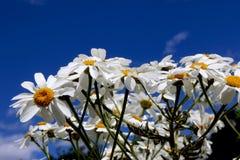 Margaritas en fondo del cielo azul Foto de archivo