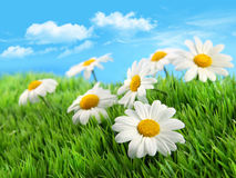 Margaritas en hierba contra un cielo azul Imagen de archivo