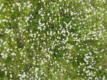 Margaritas en la primavera 3 Imagen de archivo