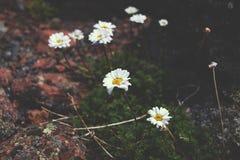 Margaritas en las montañas Fotos de archivo libres de regalías