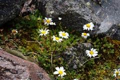 Margaritas en las montañas Imagen de archivo