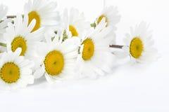 Margaritas en un fondo blanco Imagen de archivo libre de regalías