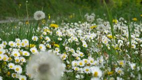 Margaritas florecientes de las flores en hierba verde metrajes