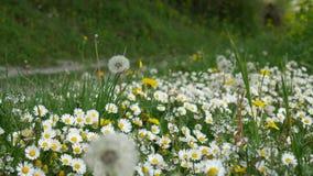 Margaritas florecientes de las flores en hierba verde almacen de video