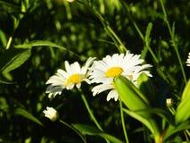 Margaritas, flores, naturaleza, jardín, campo, al aire libre, pétalos, belleza, hermoso, blanca, amarillo imagen de archivo libre de regalías