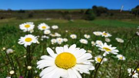 margaritas Gelbe Blumen gegen blauen Himmel Stockfotos