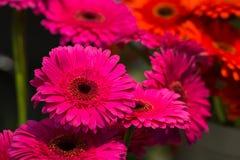 Margaritas hermosas Fotografía de archivo libre de regalías