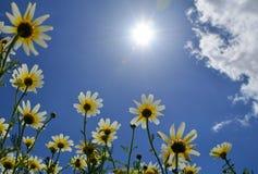 Margaritas hermosas debajo del sol intenso fotos de archivo libres de regalías