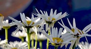 Margaritas hermosas en el amanecer Fotografía de archivo libre de regalías