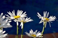 Margaritas hermosas en el amanecer Fotos de archivo libres de regalías