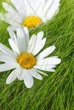 Margaritas hermosas en la hierba Fotografía de archivo libre de regalías