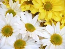 Margaritas - máximo del crisantemo Imagen de archivo