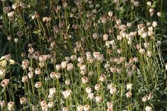 Margaritas muertos en un campo Fotografía de archivo libre de regalías
