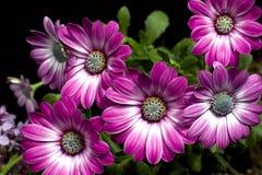 Margaritas púrpuras Imagen de archivo libre de regalías