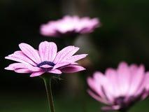 Margaritas púrpuras Fotos de archivo libres de regalías