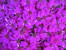Margaritas púrpuras Imagenes de archivo