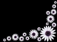Margaritas púrpuras blancas de Osteospermum Asti en negro Imagen de archivo libre de regalías