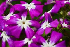 Margaritas púrpuras, centro blanco Imagen de archivo
