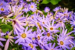 Margaritas púrpuras con la abeja que recoge la miel Imagen de archivo libre de regalías