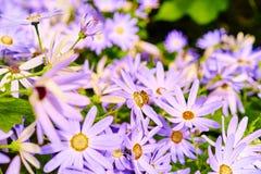 Margaritas púrpuras con la abeja que recoge la miel Imagenes de archivo