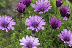 Margaritas púrpuras en la lluvia Fotos de archivo libres de regalías