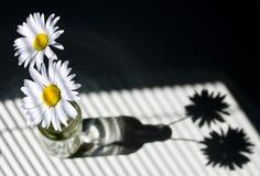 Margaritas por una ventana con las persianas Fotos de archivo libres de regalías