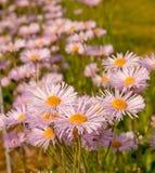 Margaritas púrpuras en campo Foto de archivo