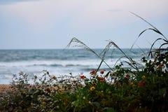 Margaritas que crecen salvajes en las dunas de arena a lo largo de la costa de las playas de la Florida en la entrada y la playa  imagenes de archivo