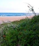 Margaritas que crecen salvajes en las dunas de arena a lo largo de la costa de las playas de la Florida en la entrada y la playa  foto de archivo libre de regalías