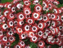 Margaritas rojas Fotos de archivo libres de regalías
