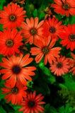 Margaritas rojas Foto de archivo libre de regalías