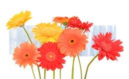 Margaritas rojas, anaranjadas, amarillas en fondo azul Fotografía de archivo