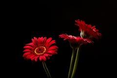 Margaritas rojas de Gerber en fondo negro imagenes de archivo