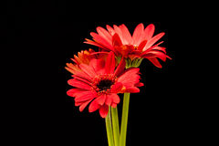 Margaritas rojas de Gerber en negro Imágenes de archivo libres de regalías