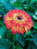 Margaritas rojas del gerbera Imagen de archivo