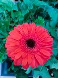 Margaritas rojas del gerbera Foto de archivo libre de regalías