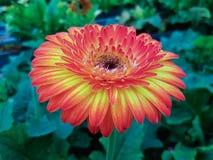 Margaritas rojas del gerbera Imagen de archivo libre de regalías