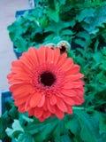 Margaritas rojas del gerbera Fotografía de archivo libre de regalías