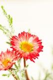 Margaritas rojas y verdes Imagenes de archivo