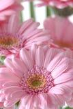 Margaritas rosadas Imagenes de archivo