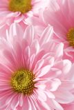 Margaritas rosadas Foto de archivo