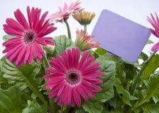 Margaritas rosadas con la muestra púrpura en blanco Imagen de archivo libre de regalías