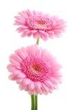 Margaritas rosadas de Gerber imagen de archivo