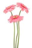 Margaritas rosadas del gerber Fotografía de archivo libre de regalías