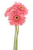 Margaritas rosadas del gerber foto de archivo libre de regalías