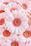 Margaritas rosadas del gerbera Foto de archivo libre de regalías