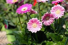 Margaritas rosadas del gerbera Imagenes de archivo