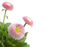 Margaritas rosadas, flores perfectas del resorte Foto de archivo libre de regalías