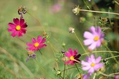 Margaritas salvajes del prado Foto de archivo libre de regalías