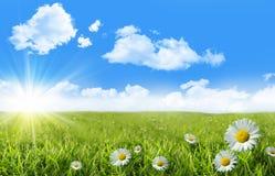 Margaritas salvajes en la hierba con un cielo azul Fotos de archivo libres de regalías